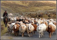 Traffic jam (Ha-r-bin) Tags: china mountain march highway sheep explore pasture xinjiang  herd trafficjam 2007 tianshan 0709  supershot impressedbeauty jalalspagesanimalkingdom