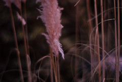 a reminiscent drive (futureancient) Tags: 50mm bokeh dusk fluffy rangefinder pinksky pampasgrass canonf095 leicam8 futureancient