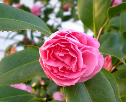 camellia blooming