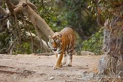 21st Jan 2008 - 56 (dickysingh) Tags: india nature outdoor wildlife tiger bigcat aditya predator ranthambore singh bengaltiger ranthambhore dicky wildtiger adityasingh ranthamborebagh theranthambhorebagh wwwranthambhorecom