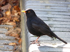 Blackbird on Dock Hill Avenue