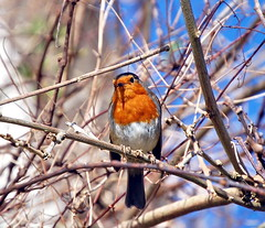 Robin: A Prince of Birds! (Roger's Photos59) Tags: nature birds wildlife robins birdwatcher goldenglobe blueribbonwinner naturescall amazingtalent animalkingdomelite fowlfeatheredfriends aplusphoto unature irresitiblebeauty unaturefav treeofhonour rogersphotos59