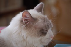 Sideview (Thee E. Aldriches) Tags: tongue cat mouth feline teeth kitty ish toothpaste torture hate meow toothbrush discomfort ragdoll ishmael badbreath tarter