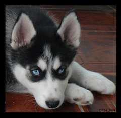 Blue Eyes (HopeQ8) Tags: dog puppy husky malamute kuwait siberian huskey alaskan allure q8