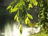 respite (shantaya ~ dannie) Tags: light sun tree love spring pond inmybackyard myspecialplace cubism ilovethistree drakeelm platinumphoto tiossealofapproval journeytopeace diamondclassphotographer flickrdiamond theperfectphotographer