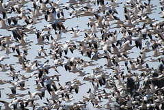 Snow Geese (trombh) Tags: birds snowgeese vermontbirds