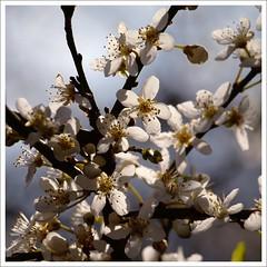 Backlit (Kirsten M Lentoft) Tags: sunlight white flower tree bravo backlit soe sping themoulinrouge naturesfinest magicdonkey mywinners momse2600 betterthangood trueessence goodmorninghugs kirstenmlentoft