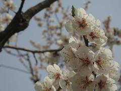ume, plum (mamako7070) Tags: spring plum ume plumblossom    bungoume