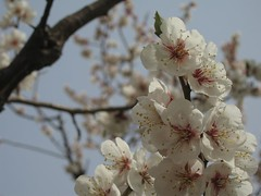 ume, plum (mamako7070) Tags: spring plum ume plumblossom 梅 うめ 豊後梅 bungoume