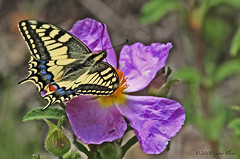 Swallowtail on cistus flower (Gypsy Flores Photography) Tags: flowers butterfly insect corse corsica wildflowers naturesfinest machaon poggiodivenaco gypsyflores korsica lacorse lamaquisarde cistussp