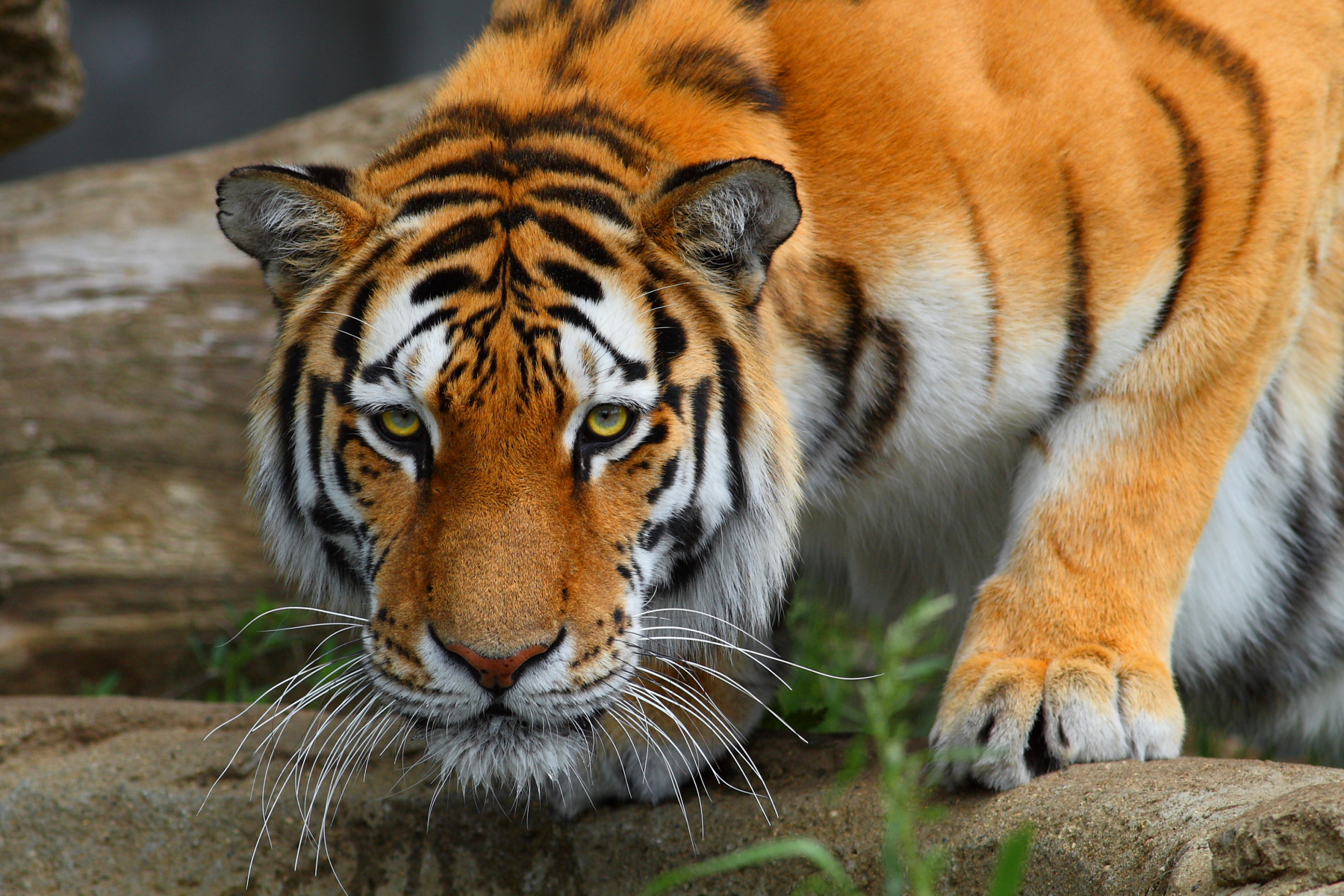 虎の画像 p1_13