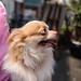 チワワ:Chihuahua_03