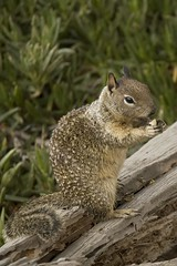 squirrel (Nicola Zuliani) Tags: california usa nature animal squirrel scoiattolo nizu nicolazuliani nnusa wwwnizuit