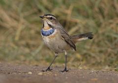 First Winter Male Bluethroat - again! (Chris Bainbridge1) Tags: luscinia svecica male first winter bluethroat lincolnshire canon 5dsr