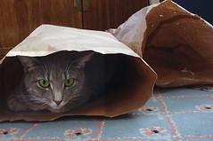 Millie 21 April 2011 4981c 4x6 (edgarandron - Busy!) Tags: cats cute cat feline tabby kitty kitties tabbies millie graytabby