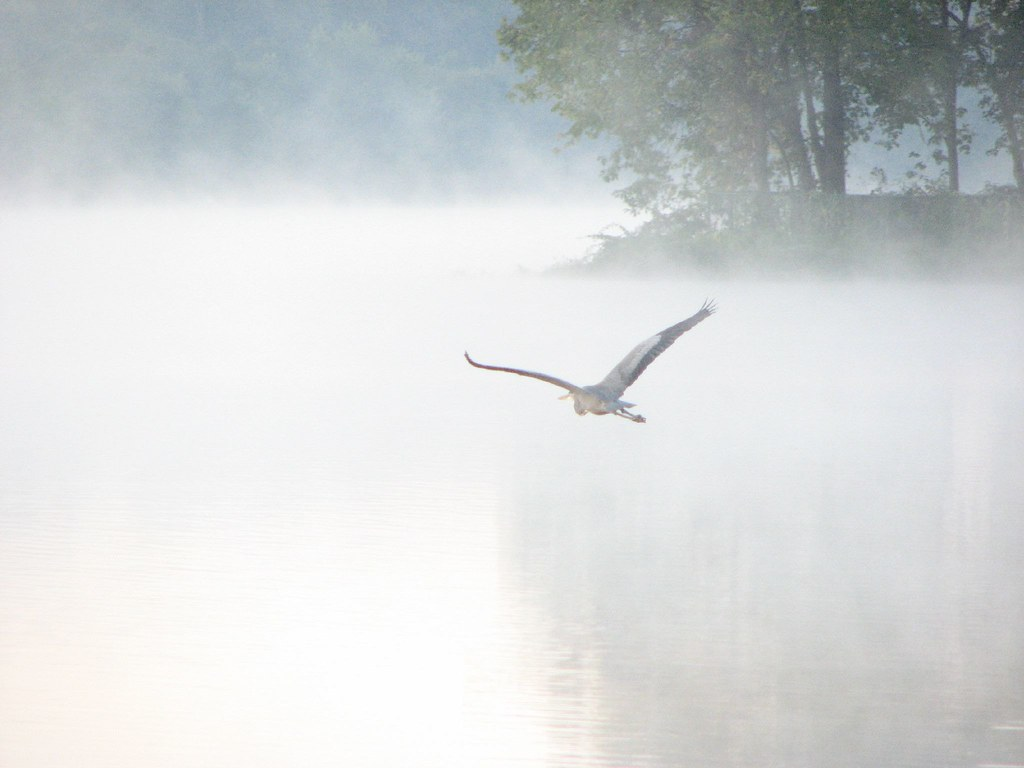 Great Blue Heron in flight over Lake Carnegie