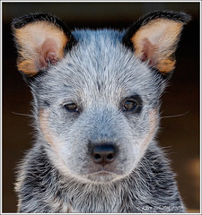 My ACD Caisa (surstubben) Tags: blue red dog nikon cattle sweden australian hund cattledog 5bestdogs nikkor hoor heeler acd 1755 caisa hr valpar abigfave impressedbeauty surstubben ayerskennel karedogs