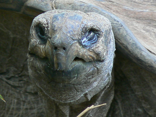 Smile! - An Aldabra Giant Tortoise Poses For Me