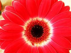 Macro... (copito_m) Tags: red fab flower color macro nature photography rojo passion 1001nights naturesfinest encarnado macromundo beautysecret goldenmix naturefinest top20red flowerwatcher overtheexcellence macromix wonderfulworldmix alohagroup photonawards flowersmacroworld flickrestrellas excellentsflowers 4mazingorgeoushotsoflowers natureselegantshots flowersarefabulous ourmasterpieces mimamorflowers auniverseofflowers awesomeblossoms bestflickrphotography flickrflorescloseupmacros panoramafotogrfico