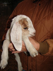 Baby Girl, so sweet (Texas to Mexico) Tags: ranch rural texas sweet goat cuddly babygoat animalbabies knippa