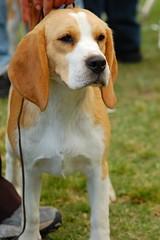 Athena Khantati (Beagle) (Lalo Guzmn) Tags: chile santiago dog beagle natura perro passionphotography mywinners aplusphoto ysplix khantati