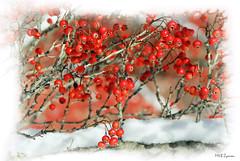*** (Magda'70) Tags: winter red usa snow closeup virginia us nikon framed frame d200 fairfax naturesfinest mywinners aplusphoto zymon