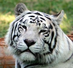 Tigre Blanco IMG_1824a (kjdrill) Tags: cats white blanco animal cat mexico zoo stripes tiger guadalajara bigcat rare bengal tigre exoticcats endangeredspecies zoological zoologico ziegfriedandroy