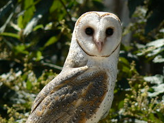 A Beautiful Barn Owl - A New Star (ianmichaelthomas) Tags: animaladdiction naturewatcher birdwatcher owls birds raptors barnowls smorgasbord wonderfulworldmix goldenmix wildlifeofaustralia healesvillesanctuary healesvillevictoriaaustralia freeflightshow melbournezoo impressedbeauty auselite worldbest australianraptors australianbirdsofprey birdsofprey avisittothezoo itsazoooutthere birdwatching animalcraze friends flickrlovers flickrsbestcreatures vosplusbellesphotos worldofanimals