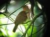 White-whiskered Puffbird 2 (mlretter) Tags: yucatan yuc nwecuador