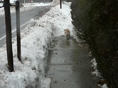 snow trumps dog (alist) Tags: winter cambridge dog snow ice weather puppy pug alist annie cambridgemass 02139 alicerobison ajrobison
