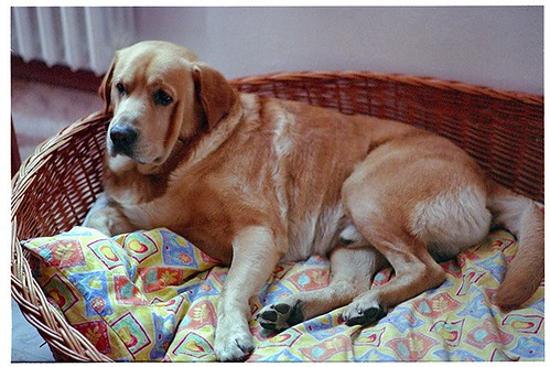 yellow labrador retriever photo - Benny