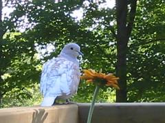 """Our pet dove """" (birdbrain 2008) Tags: area haliburton ceder"""