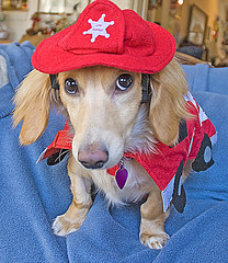 Firetruck Honey (Doxieone) Tags: red dog cute english hat costume long dress cream dachshund honey blonde fireman haired coll fogarty longhaired honeydog englishcream honeyset halloweenfall2008set
