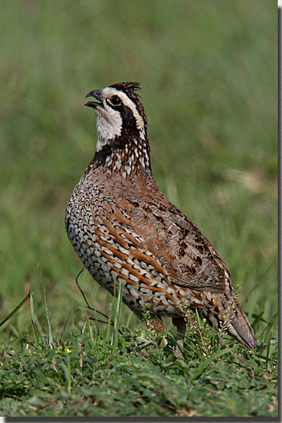 quailbobwhite.jpg