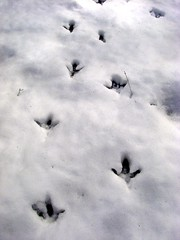 turkey tracks (or velociraptors???)