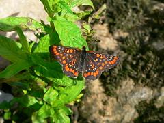 Scarce Fritillary (Juke Saps) Tags: nature butterfly wildlife riverbank leptir scarcefritillary euphydryasmaturna
