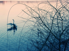 wings (motocchio) Tags: winter italy lake bird swan wings italia mantova february 2008 magichours