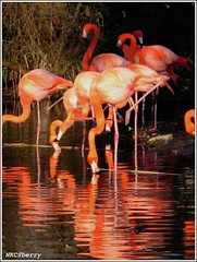 Reflection. (NKC@berry (Away)) Tags: california pink reflection water birds zoo flamingo sacramento sacramentozoo americanflamingo betterthangood itsazoooutthere