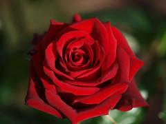 Rose (arjuna_zbycho) Tags: roses flower rose austria österreich olympus e3 gül blume baden rosas niederösterreich macrophoto زهرة kwiat rosae badenbeiwien e500 róża rosu róże rakousko makrofoto trandafiri trandafir fantasticflower masterphotos doblhoffpark الورد roselovers biosphaerenparkwienerwald gülsevenler