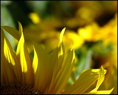 Sunny Sunday... (Mary Trebilco) Tags: flowers sunlight sunshine yellow canon petals bokeh sunny powershot yellowflower loveit sunflowers sunflower tasmania sunnysunday 12xzoom yellowpetals canonpowershots3is forthside showmeyourqualitypixels badcocksgarden sunflowerbokeh