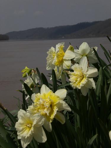 daffodilsAtOhioRiver