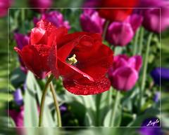 Tulip Tear Drops (Kuzeytac) Tags: life pink red flower color colour macro green nature turkey geotagged purple türkiye turkiye istanbul drop tulip makro geotag mor leyla hayat doku çiçek yeşil lsi lale damla gulhane kırmızı doğa tabiat pembe canoneos400d canoneosdigitalrebelxti thechallengegame challengegamewinner kuzeytac copyrightedallrightsreserved aqualityonlyclub