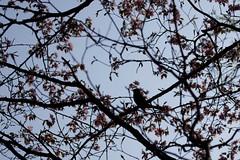桜とヒヨドリ
