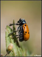 Hacer cumbre. (josemph) Tags: insectos macro 35mm olympus e3 zuiko chrysomelidae zd uro lachnaiasexpunctata fotografiadelanaturaleza