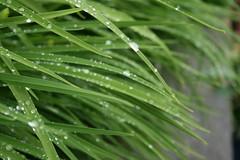 erbetta (I do believe in fairies) Tags: verde rain erba rugiada pioggia giardino