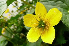 Caltha palustris (j.imac) Tags: macro wildflower marshmarigold calthapalustris kingcup blueribbonwinner golddragon excellentsflowers natureselegantshots mimamorflowers