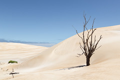 A touch of green (RWYoung Images) Tags: rwyoung canon 5d3 southaustralia dune sand deadtree tree green