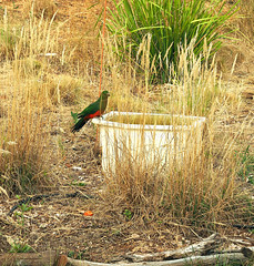 King Parrot has a drink (wombalano) Tags: wombalano kingparrot water canberra