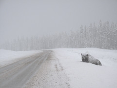 (kthschsslr) Tags: road winter wild mountain snow canada landscape spring buffalo frost driving snowy wildlife columbia adventure motorcycle british slippery motorcycling wintry
