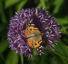 Butterfly (ob124) Tags: orange white black flower green butterfly purple colourful mygarden paintedlady alium canon450d